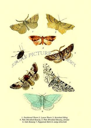 Feathered Thorn, Lunar Thorn, Scorched Wing, Pale Brindled Beauty, Pale Brindled Beauty